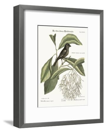 The Little Black Bullfinch, 1749-73-Mark Catesby-Framed Giclee Print