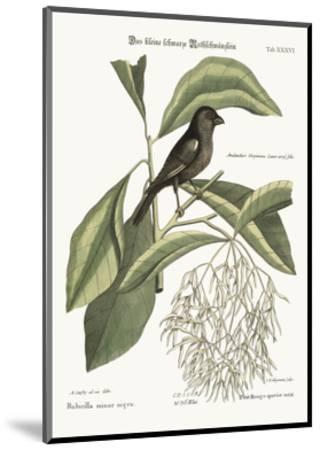 The Little Black Bullfinch, 1749-73-Mark Catesby-Mounted Giclee Print