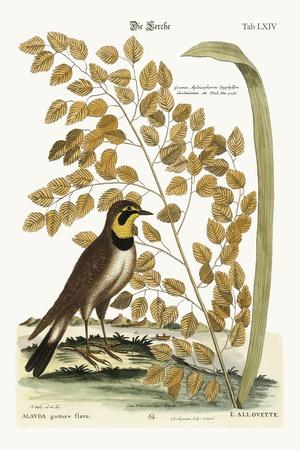 The Lark, 1749-73-Mark Catesby-Stretched Canvas Print