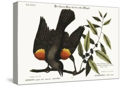 The Red-Winged Starling, 1749-73-Mark Catesby-Stretched Canvas Print
