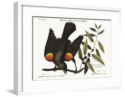 The Red-Winged Starling, 1749-73-Mark Catesby-Framed Giclee Print