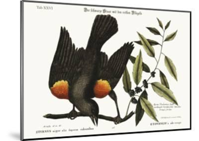 The Red-Winged Starling, 1749-73-Mark Catesby-Mounted Giclee Print