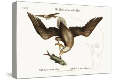 The White-Headed Eagle, 1749-73-Mark Catesby-Stretched Canvas Print