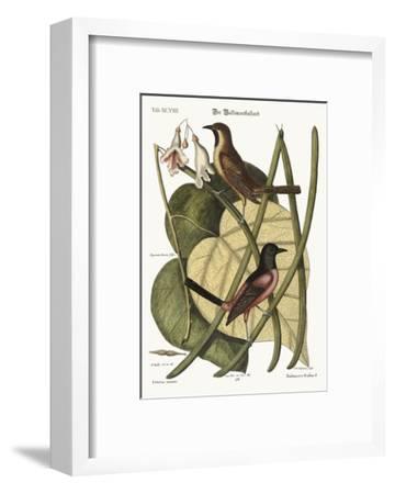 The Bastard Baltimore, 1749-73-Mark Catesby-Framed Giclee Print
