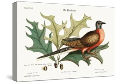 The Pigeon of Passage, 1749-73-Mark Catesby-Stretched Canvas Print