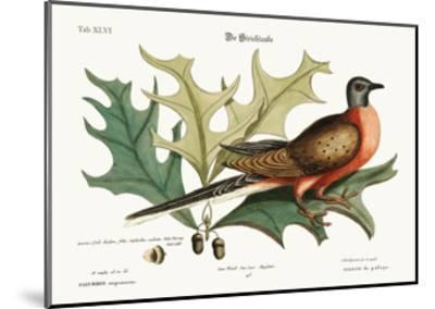 The Pigeon of Passage, 1749-73-Mark Catesby-Mounted Giclee Print