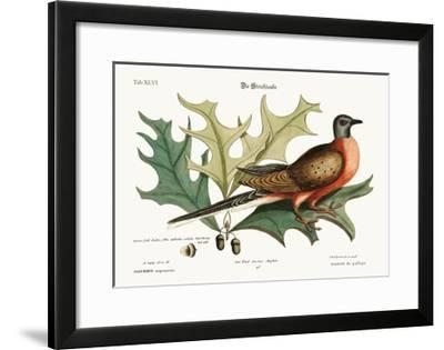 The Pigeon of Passage, 1749-73-Mark Catesby-Framed Giclee Print