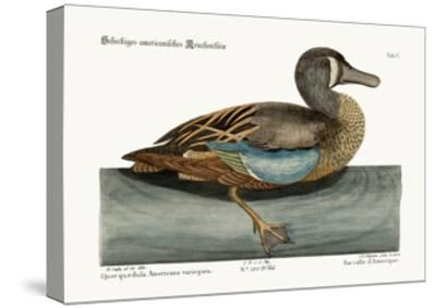 The White-Face Teal, 1749-73-Mark Catesby-Stretched Canvas Print