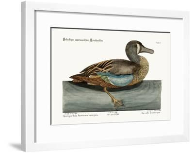 The White-Face Teal, 1749-73-Mark Catesby-Framed Giclee Print