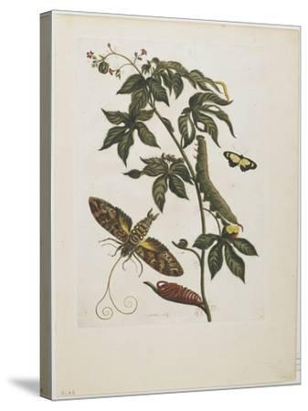 Sphinx Moth, Larva, Pupa, and Flower, 1705-1771-Maria Sibylla Graff Merian-Stretched Canvas Print