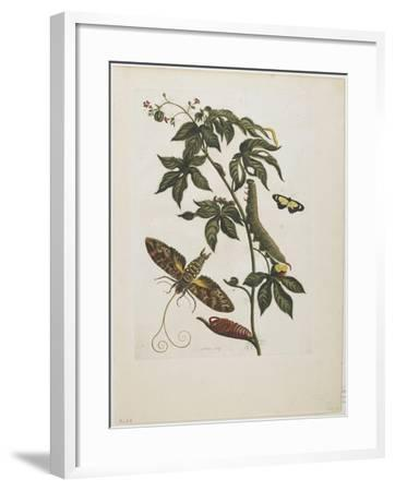 Sphinx Moth, Larva, Pupa, and Flower, 1705-1771-Maria Sibylla Graff Merian-Framed Giclee Print