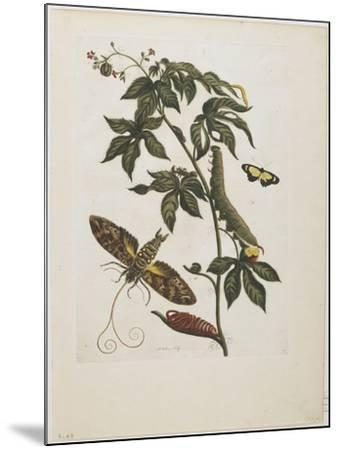 Sphinx Moth, Larva, Pupa, and Flower, 1705-1771-Maria Sibylla Graff Merian-Mounted Giclee Print