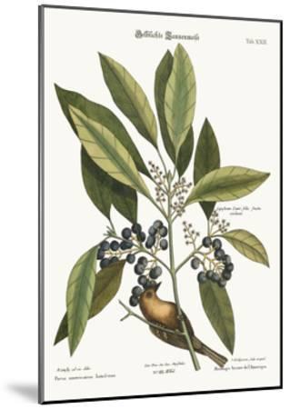 The Pine-Creeper, 1749-73-Mark Catesby-Mounted Giclee Print