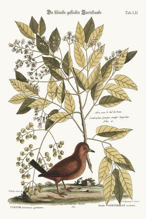 The Ground Dove, 1749-73-Mark Catesby-Stretched Canvas Print