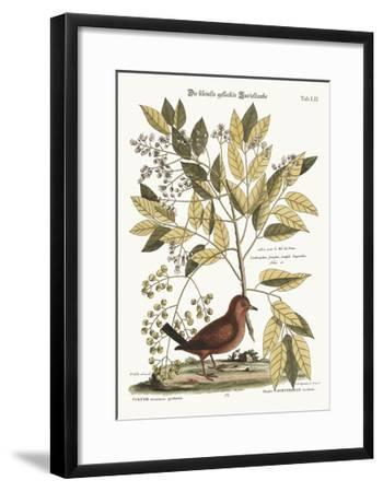 The Ground Dove, 1749-73-Mark Catesby-Framed Giclee Print