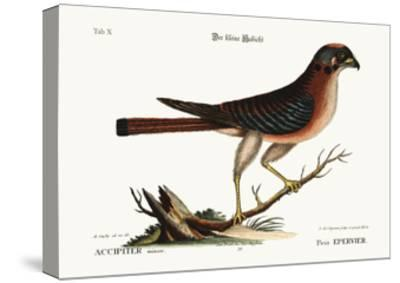 The Little Hawk, 1749-73-Mark Catesby-Stretched Canvas Print