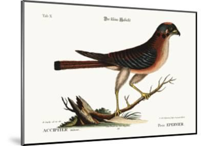 The Little Hawk, 1749-73-Mark Catesby-Mounted Giclee Print