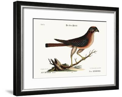 The Little Hawk, 1749-73-Mark Catesby-Framed Giclee Print