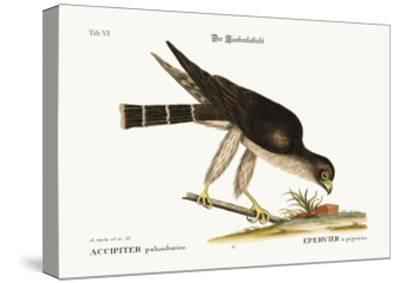 The Pigeon Hawk, 1749-73-Mark Catesby-Stretched Canvas Print