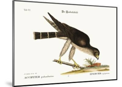 The Pigeon Hawk, 1749-73-Mark Catesby-Mounted Giclee Print