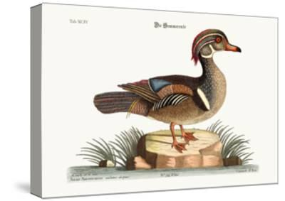 The Summer Duck, 1749-73-Mark Catesby-Stretched Canvas Print