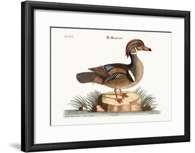 The Summer Duck, 1749-73-Mark Catesby-Framed Giclee Print