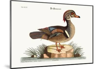 The Summer Duck, 1749-73-Mark Catesby-Mounted Giclee Print