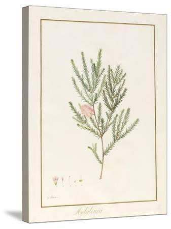 Melaleuca, Including Five Studies of the Bloom (W/C and Bodycolour on Vellum)-Pancrace Bessa-Stretched Canvas Print