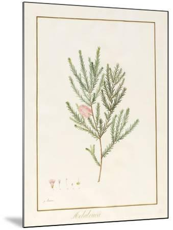 Melaleuca, Including Five Studies of the Bloom (W/C and Bodycolour on Vellum)-Pancrace Bessa-Mounted Giclee Print