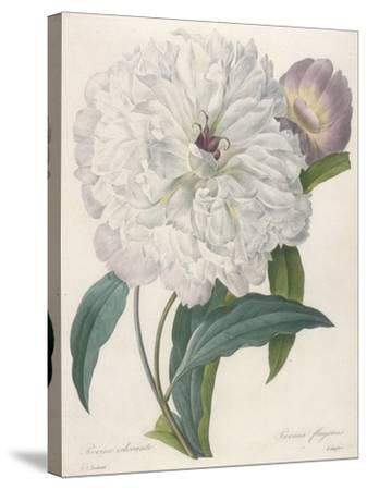 Paeonia Flagrans (Peony), 1827-Pierre Joseph Redoute-Stretched Canvas Print