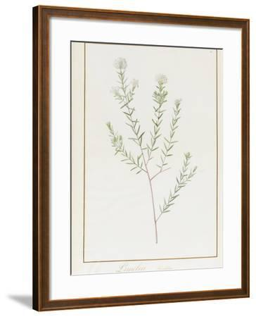 Pimelea Linifolia, 1812-Pierre Joseph Redoute-Framed Giclee Print