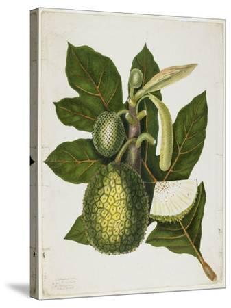 Artocarpus Incisa (The True Bread-Fruit/ of the Phillipines), December 1866-Priscilla Susan Bury-Stretched Canvas Print