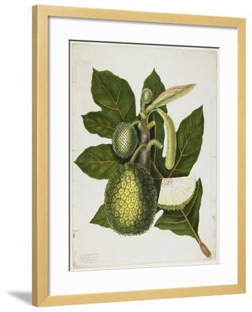 Artocarpus Incisa (The True Bread-Fruit/ of the Phillipines), December 1866-Priscilla Susan Bury-Framed Giclee Print