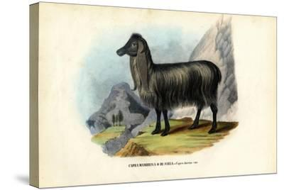Feral Goat, 1863-79-Raimundo Petraroja-Stretched Canvas Print