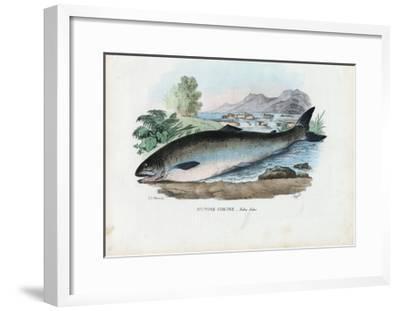 Atlantic Salmon, 1863-79-Raimundo Petraroja-Framed Giclee Print