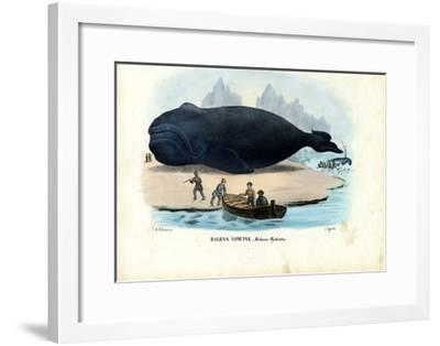 Bowhead Whale, 1863-79-Raimundo Petraroja-Framed Giclee Print