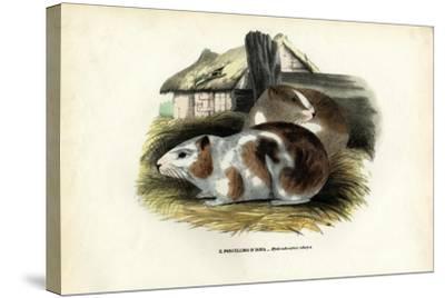 Cavy, 1863-79-Raimundo Petraroja-Stretched Canvas Print