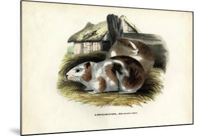 Cavy, 1863-79-Raimundo Petraroja-Mounted Giclee Print
