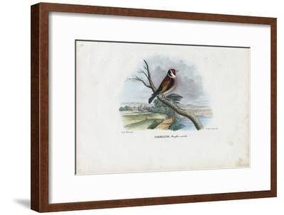 European Goldfinch, 1863-79-Raimundo Petraroja-Framed Giclee Print