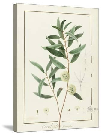 Eucalyptus Diversifolia, 1811 (W/C and Bodycolour over Traces of Graphite on Vellum)-Pierre Joseph Redoute-Stretched Canvas Print