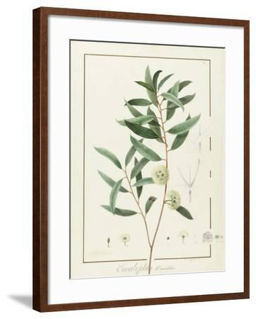 Eucalyptus Diversifolia, 1811 (W/C and Bodycolour over Traces of Graphite on Vellum)-Pierre Joseph Redoute-Framed Giclee Print
