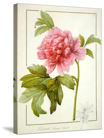 Paeonia Suffruticosa, 1812 (W/C with Gum Arabic over Traces of Graphite on Vellum)-Pierre Joseph Redoute-Stretched Canvas Print
