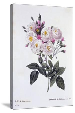 Rosa Noisettiana, Published 1824-26-Pierre Joseph Redoute-Stretched Canvas Print