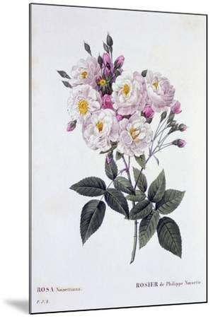 Rosa Noisettiana, Published 1824-26-Pierre Joseph Redoute-Mounted Giclee Print