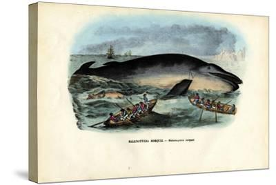 Humpback Whale, 1863-79-Raimundo Petraroja-Stretched Canvas Print