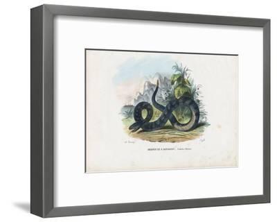 Timber Rattlesnake, 1863-79-Raimundo Petraroja-Framed Giclee Print