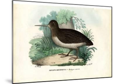 Eurasian Woodcock, 1863-79-Raimundo Petraroja-Mounted Giclee Print