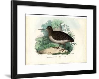 Eurasian Woodcock, 1863-79-Raimundo Petraroja-Framed Giclee Print