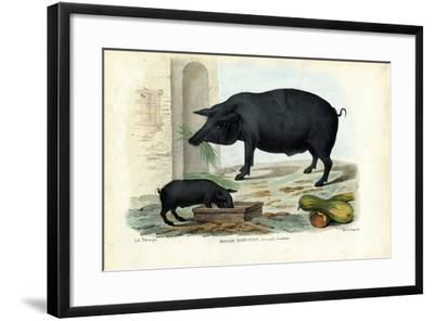 Domestic Pig, 1863-79-Raimundo Petraroja-Framed Giclee Print