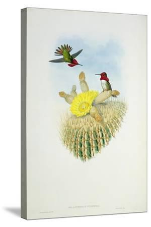 Humming Bird, Engraved by Walter and Cohn- Richter & Gould-Stretched Canvas Print